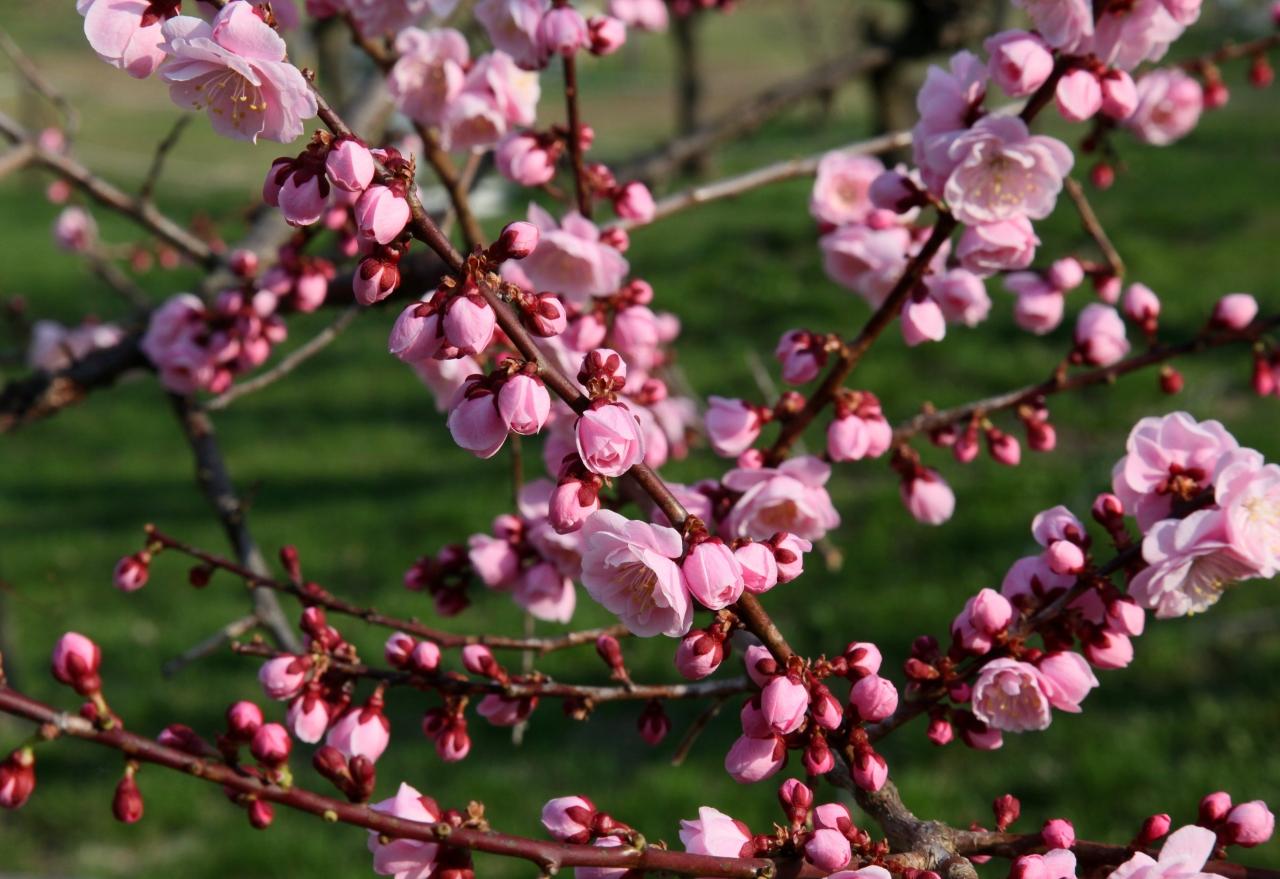 お花見情報 さんぽろ 春は桜だけじゃない 梅の花 平岡公園 (5月上旬)  札幌