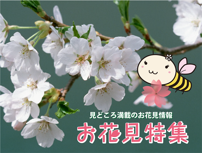 2015年札幌お花見特集 札幌